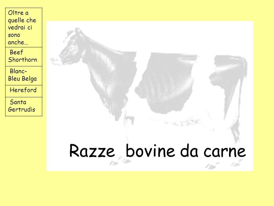 Razze bovine da carne Oltre a quelle che vedrai ci sono anche… Beef Shorthorn Blanc- Bleu Belga Hereford Santa Gertrudis