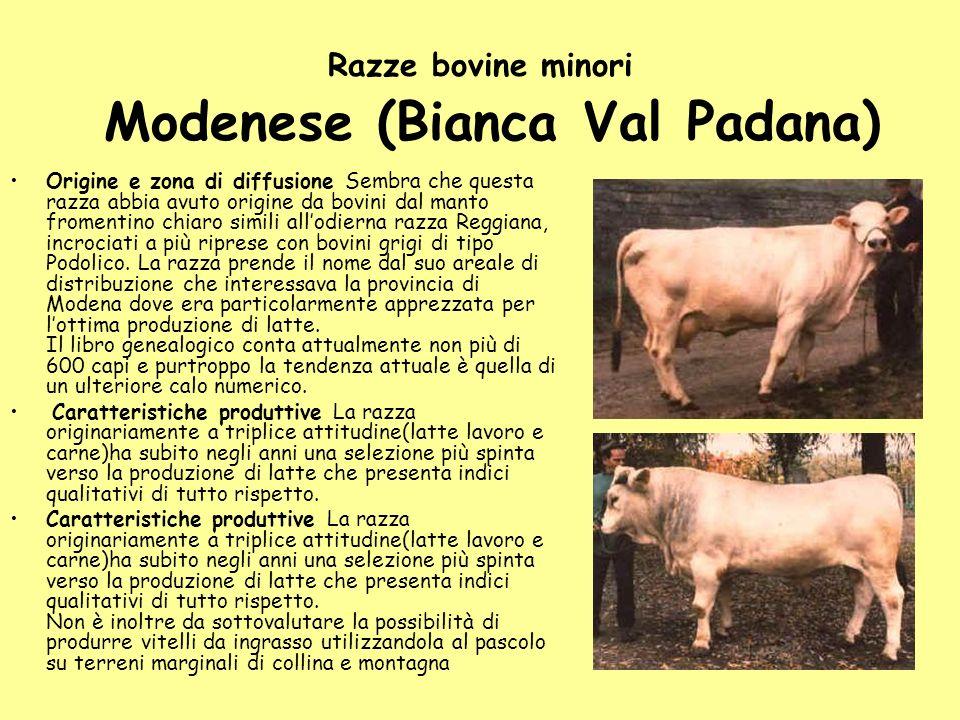 Razze bovine minori Modenese (Bianca Val Padana) Origine e zona di diffusione Sembra che questa razza abbia avuto origine da bovini dal manto fromenti