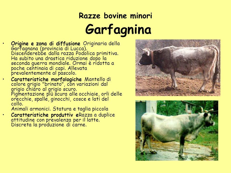 Razze bovine minori Garfagnina Origine e zona di diffusione Originaria della Garfagnana (provincia di Lucca). Discenderebbe dalla razza Podolica primi