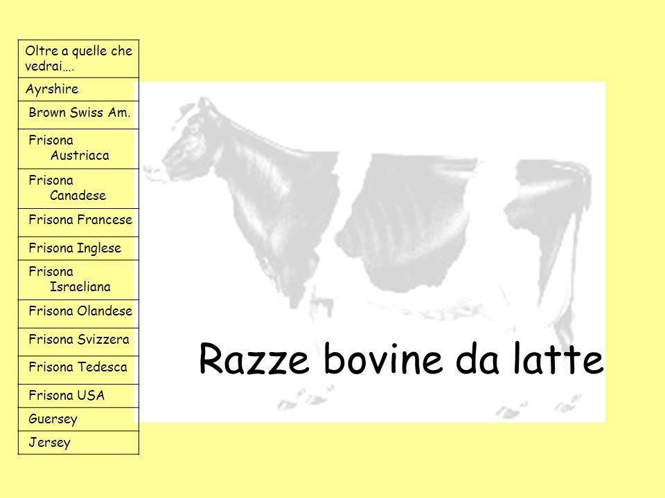Razze bovine da latte Oltre a quelle che vedrai…. Ayrshire Brown Swiss Am. Frisona Austriaca Frisona Canadese Frisona Francese Frisona Inglese Frisona