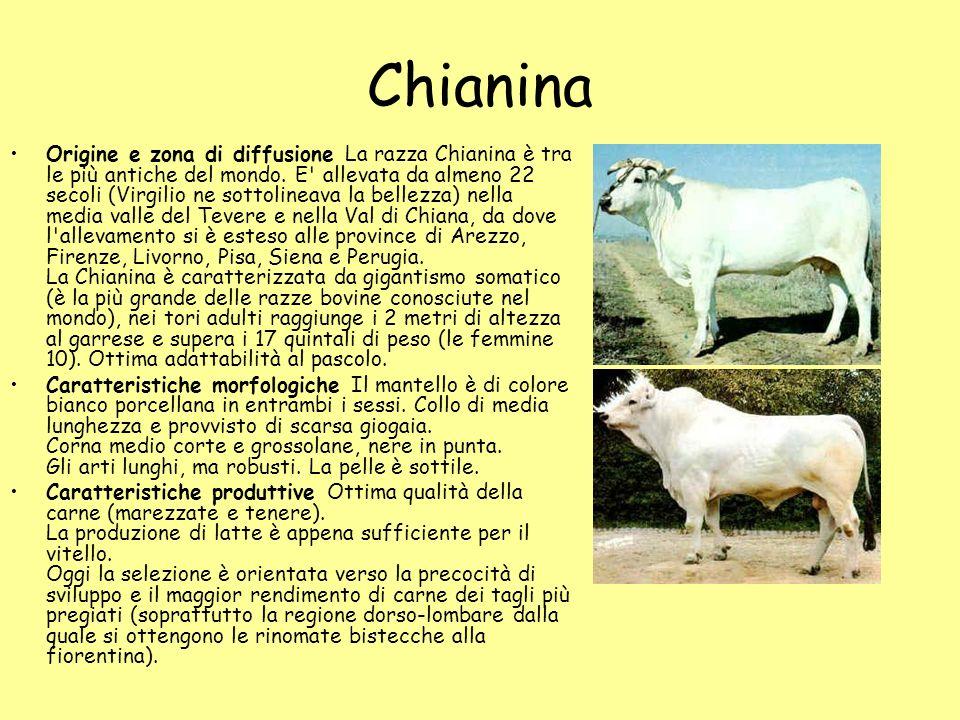 Chianina Origine e zona di diffusione La razza Chianina è tra le più antiche del mondo. E' allevata da almeno 22 secoli (Virgilio ne sottolineava la b