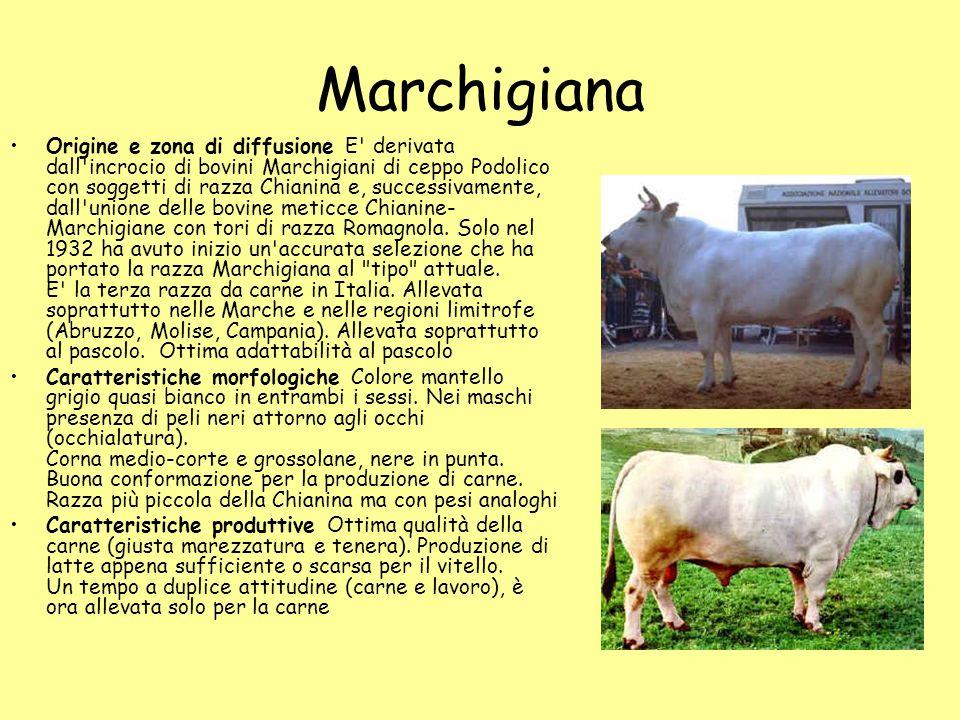 Marchigiana Origine e zona di diffusione E' derivata dall'incrocio di bovini Marchigiani di ceppo Podolico con soggetti di razza Chianina e, successiv