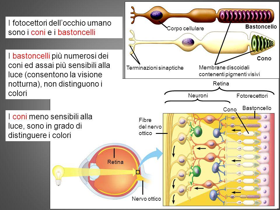 organi di senso 11 I fotocettori dellocchio umano sono i coni e i bastoncelli Cono Bastoncello Fotorecettori Neuroni Retina Fibre del nervo ottico Ner