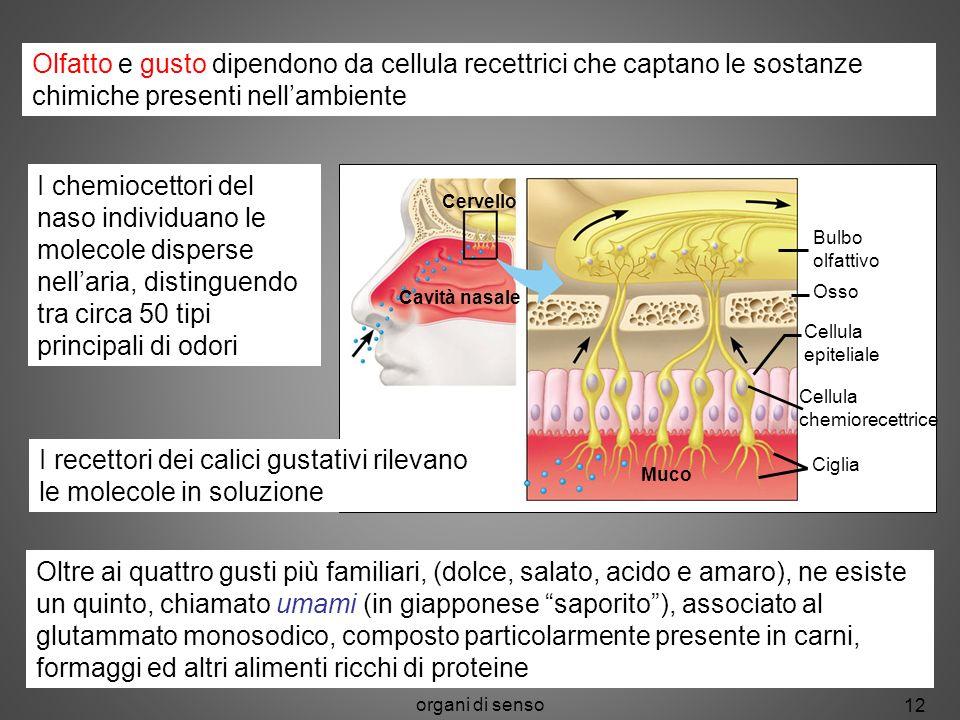 organi di senso 12 Potenziali dazione Olfatto e gusto dipendono da cellula recettrici che captano le sostanze chimiche presenti nellambiente I chemioc