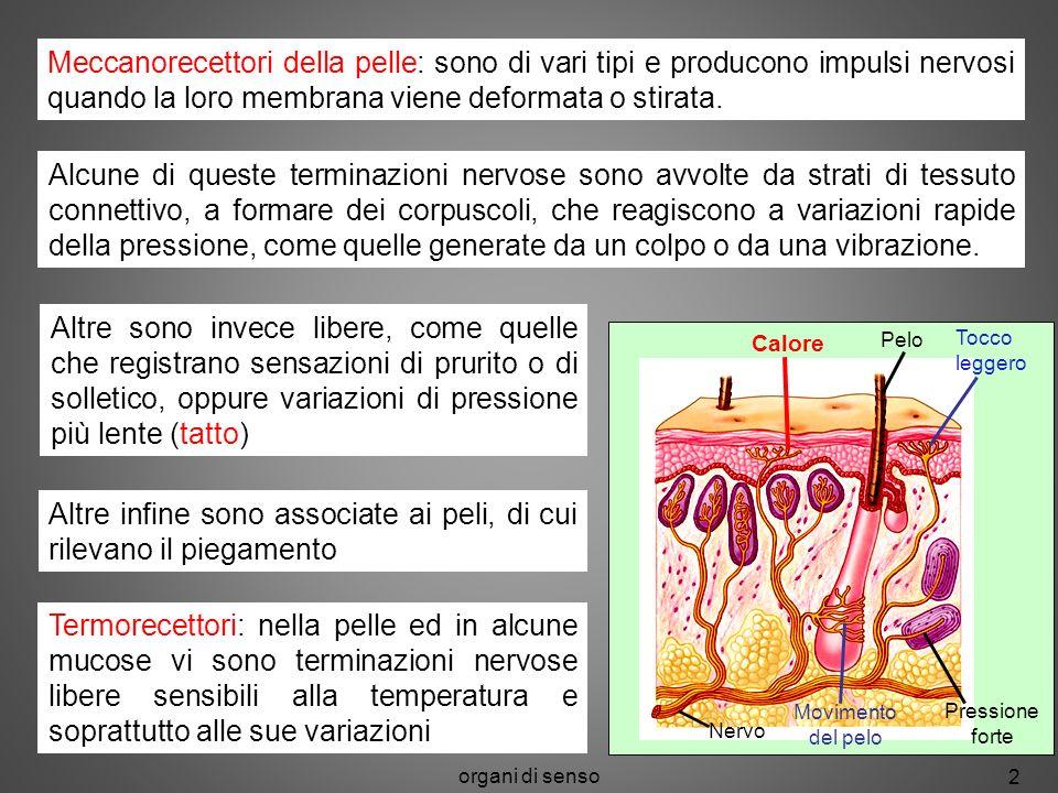 organi di senso 2 Pelo Tocco leggero Nervo Movimento del pelo Pressione forte Alcune di queste terminazioni nervose sono avvolte da strati di tessuto