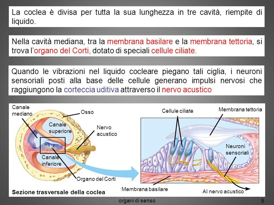 organi di senso 5 Canale mediano Osso Nervo acustico Organo del Corti Cellule ciliate Membrana tettoria Neuroni sensoriali Al nervo acustico Membrana