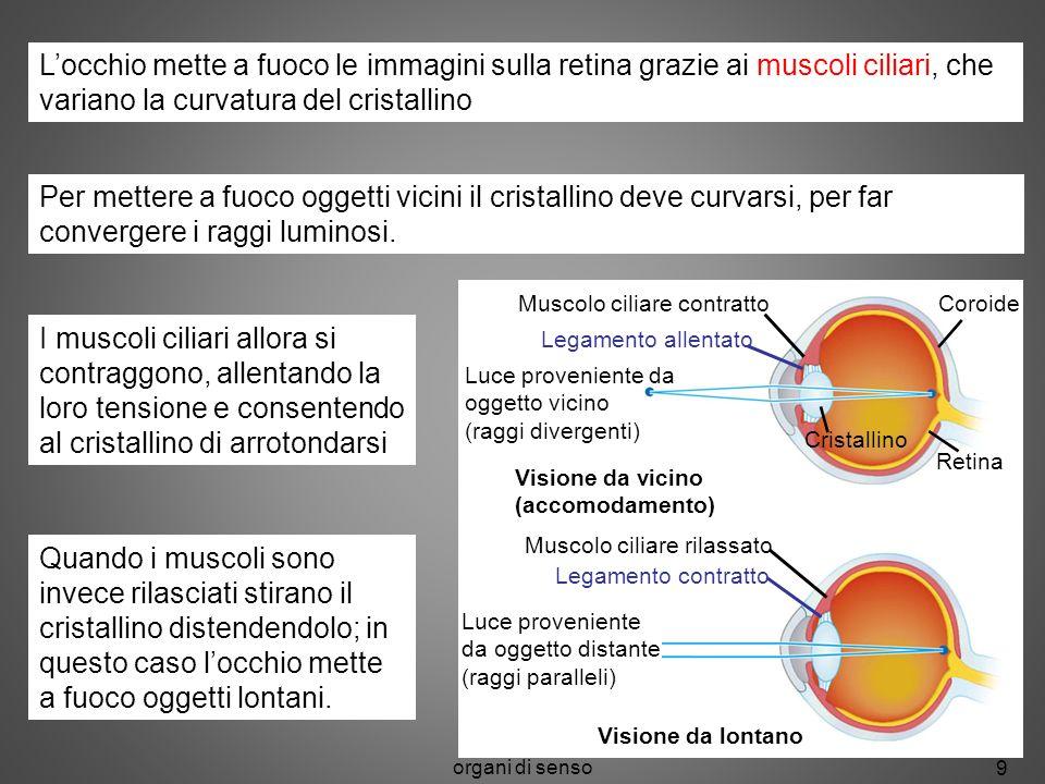 organi di senso 9 Muscolo ciliare contratto Legamento allentato Coroide Retina Cristallino Luce proveniente da oggetto vicino (raggi divergenti) Visio