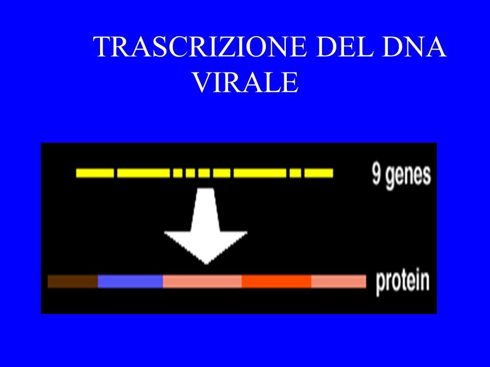 Sintesi della seconda elica di DNA il DNA migra nel nucleo del linfocita e si integra con il suo DNA.Viene utilizzato un enzima virale, la integrasi Il virus integrato provirus Sono i PROVIRUS INATTIVI che sono responsabili dellinefficacia della terrapia antivirale