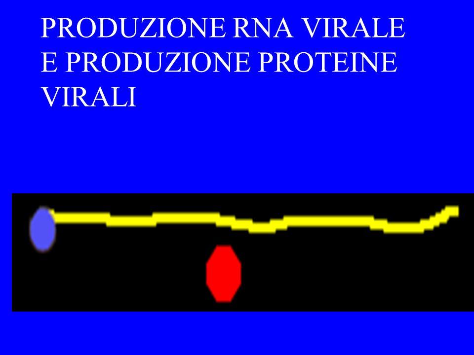 TRASCRIZIONE DEL DNA VIRALE