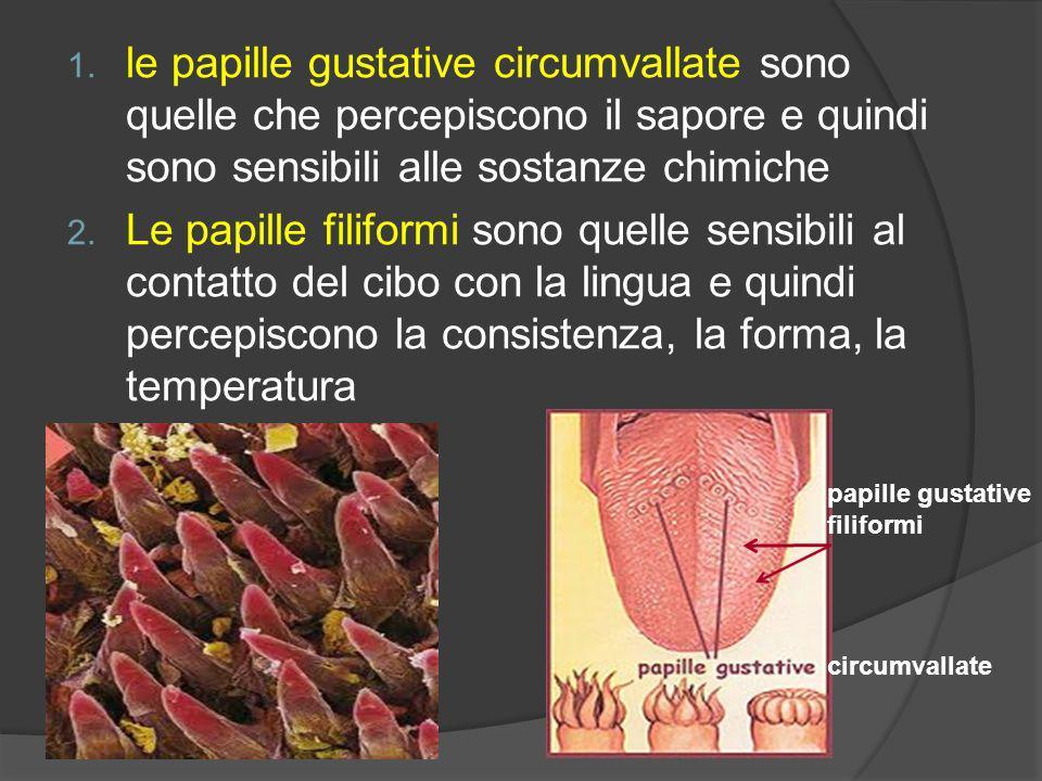 1. le papille gustative circumvallate sono quelle che percepiscono il sapore e quindi sono sensibili alle sostanze chimiche 2. Le papille filiformi so