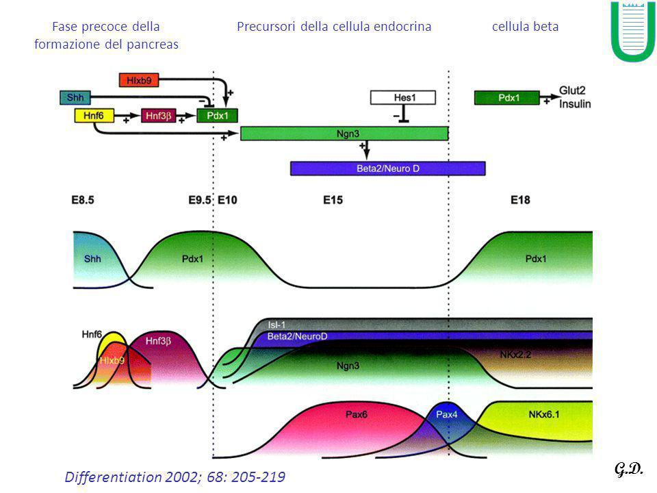 Differentiation 68 (4-5), 205-219 Fase precoce della formazione del pancreas Precursori della cellula endocrinacellula beta Differentiation 68 (4-5),
