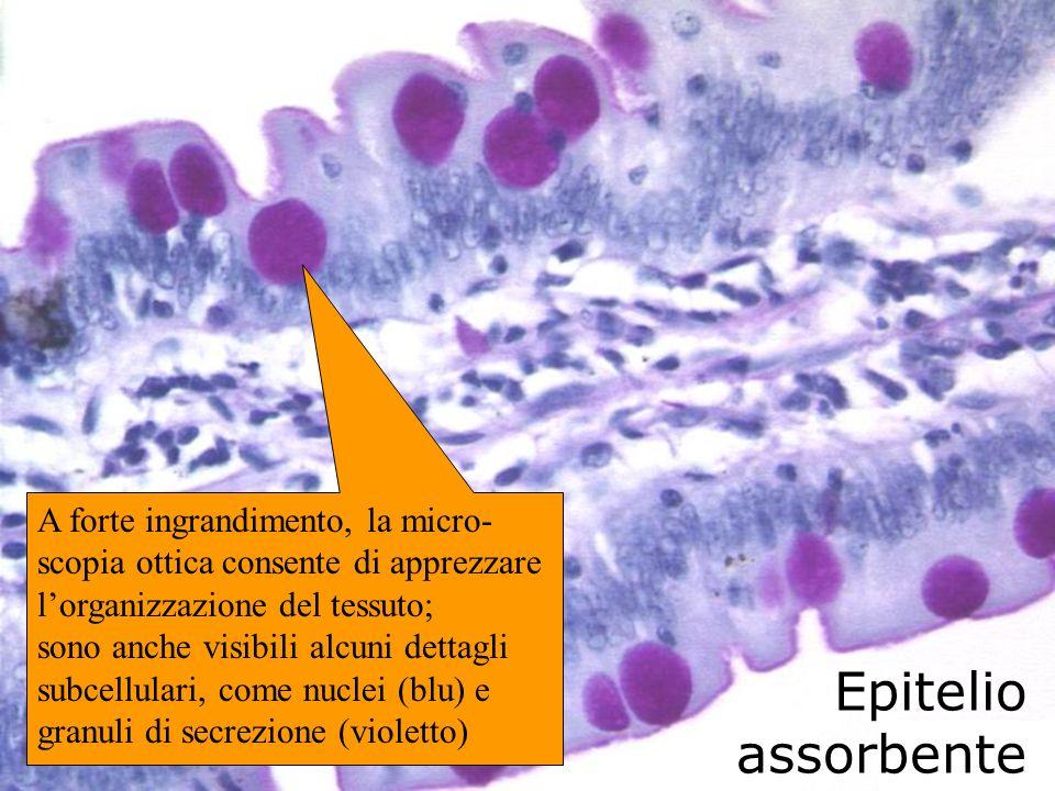 Epitelio assorbente A forte ingrandimento, la micro- scopia ottica consente di apprezzare lorganizzazione del tessuto; sono anche visibili alcuni dett