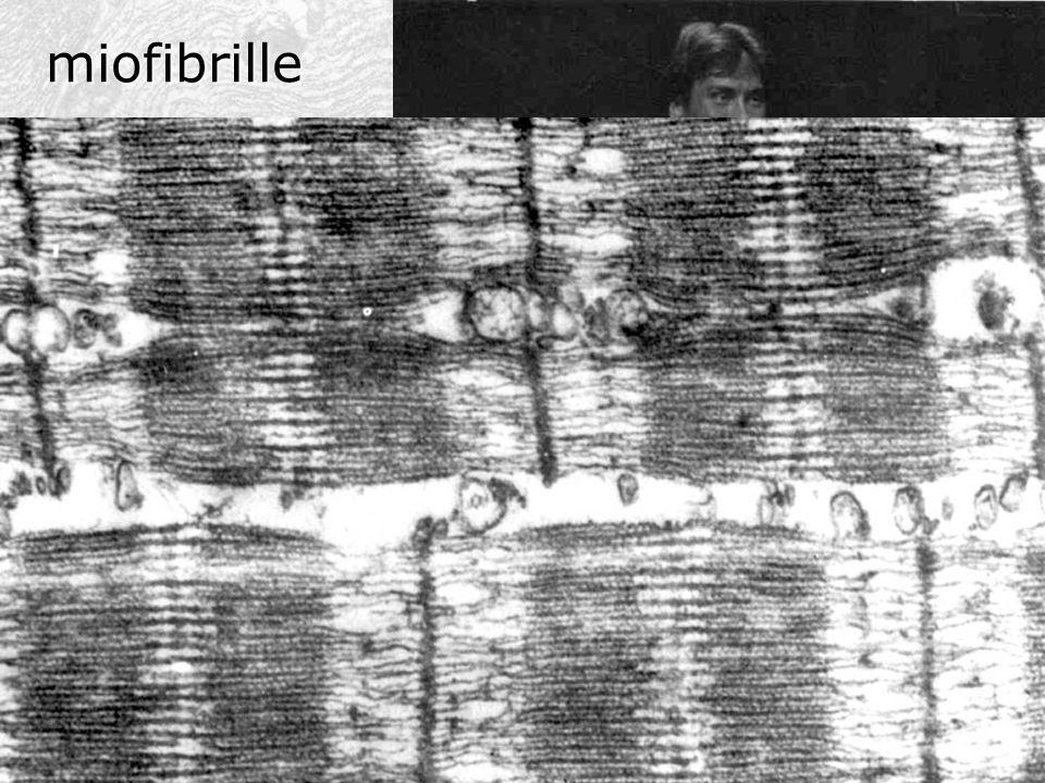 miofibrille