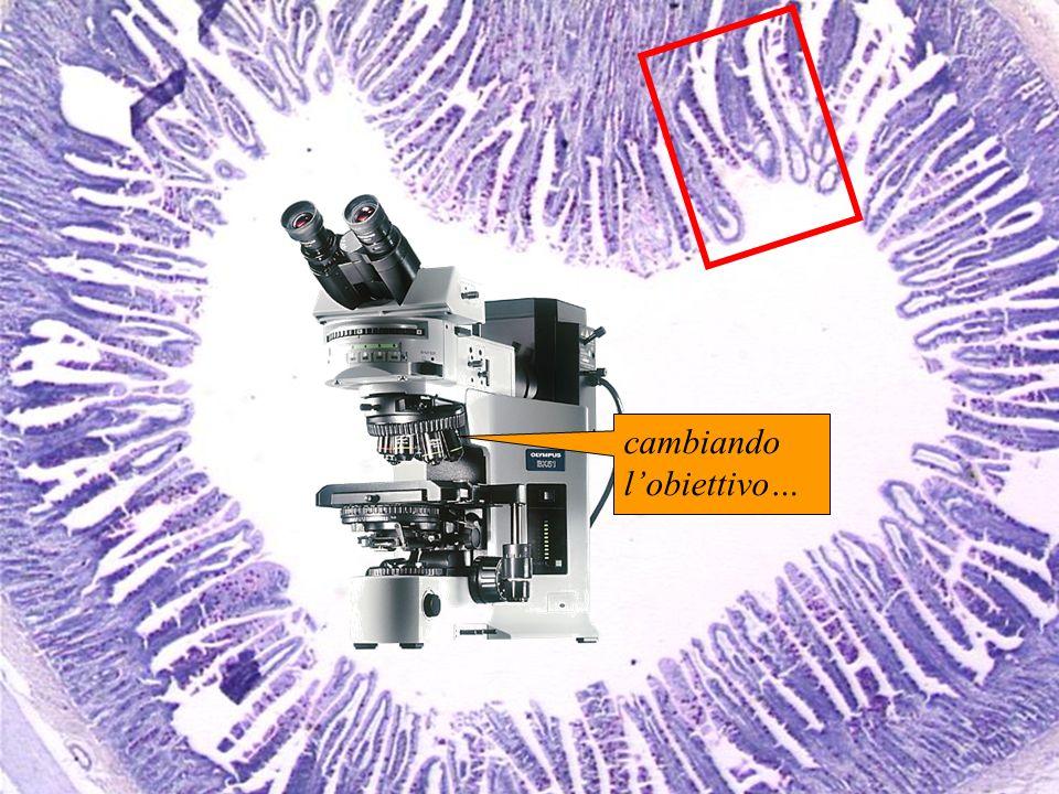 Villi intestinali a questo ingrandimento si inizia ad apprezzare la presenza di diversi tessuti: un tipo di tessuto riveste il villo, mentre un tipo diverso di ne costituisce la porzione centrale