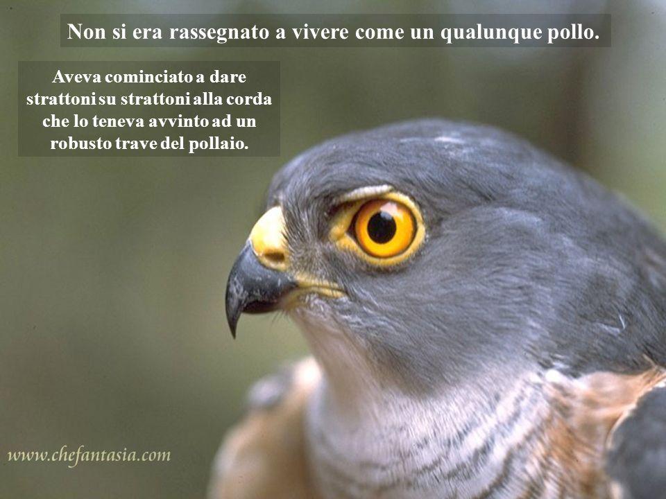 Un falco era stato catturato da un contadino e viveva legato per una zampa nell'aia di un cascinale.