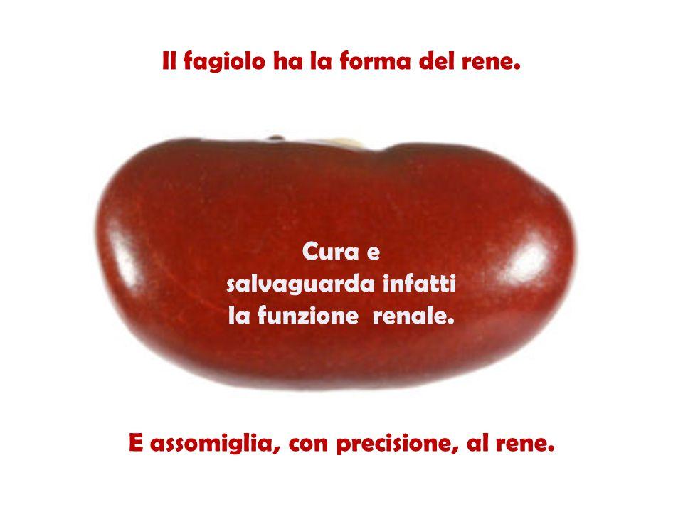 Il fagiolo ha la forma del rene.Cura e salvaguarda infatti la funzione renale.