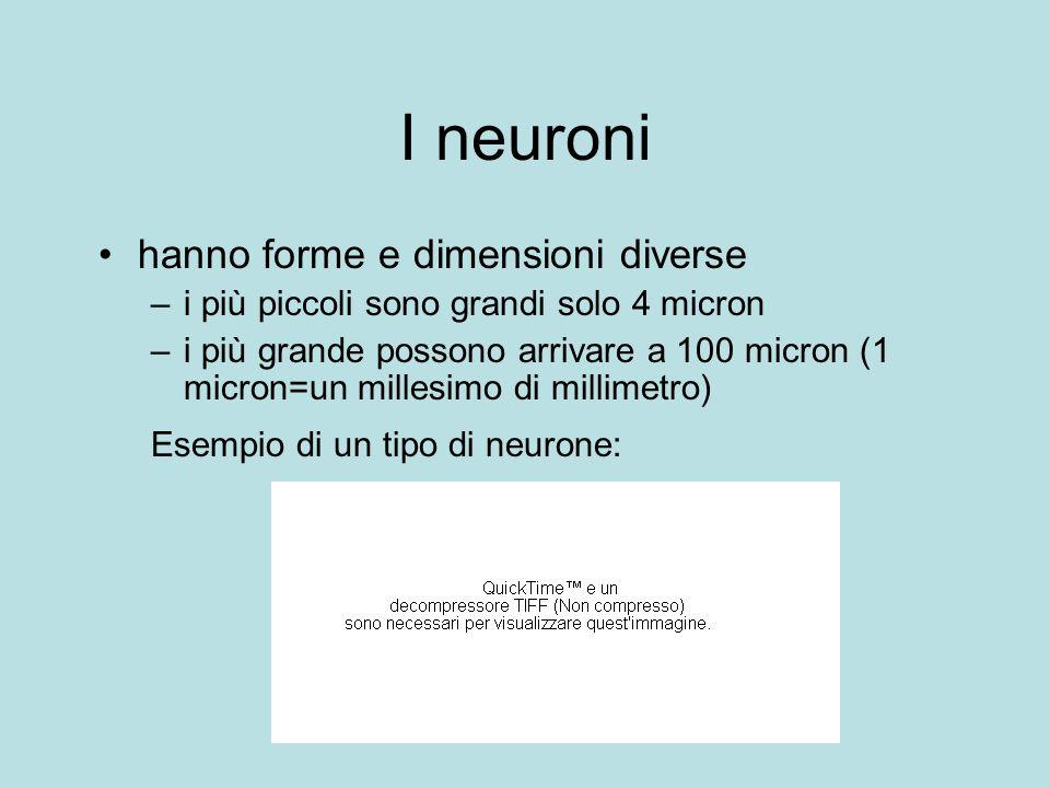 I neuroni hanno forme e dimensioni diverse –i più piccoli sono grandi solo 4 micron –i più grande possono arrivare a 100 micron (1 micron=un millesimo