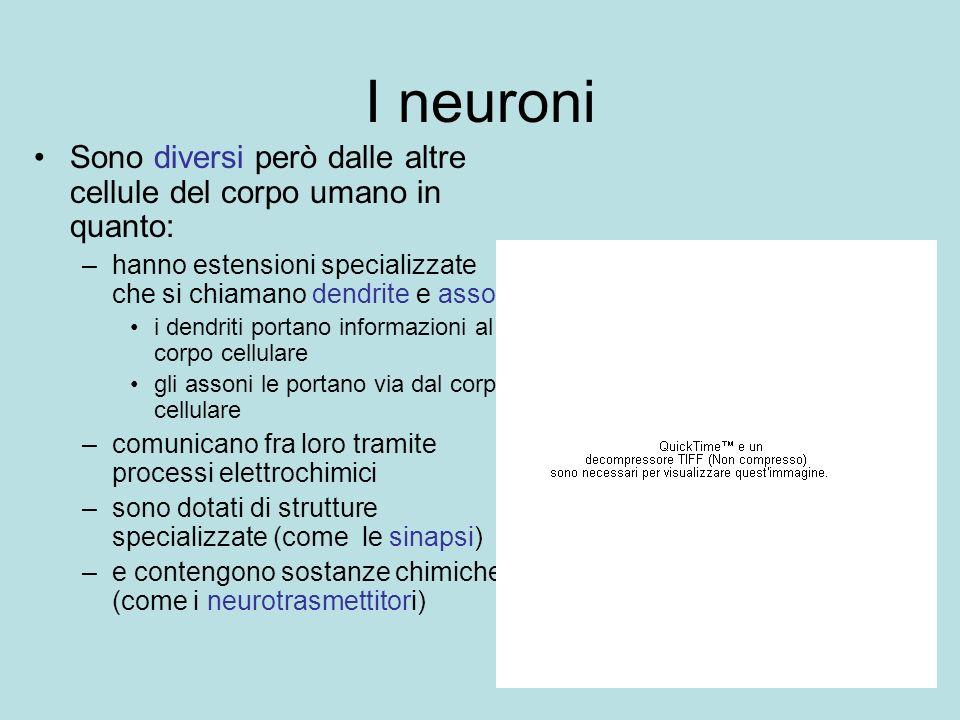 I neuroni Sono diversi però dalle altre cellule del corpo umano in quanto: –hanno estensioni specializzate che si chiamano dendrite e assoni i dendrit