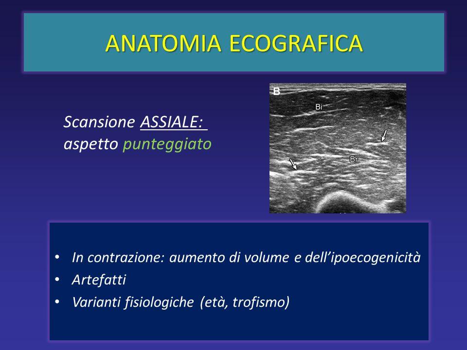 In contrazione: aumento di volume e dellipoecogenicità Artefatti Varianti fisiologiche (età, trofismo) ANATOMIA ECOGRAFICA Scansione ASSIALE: aspetto