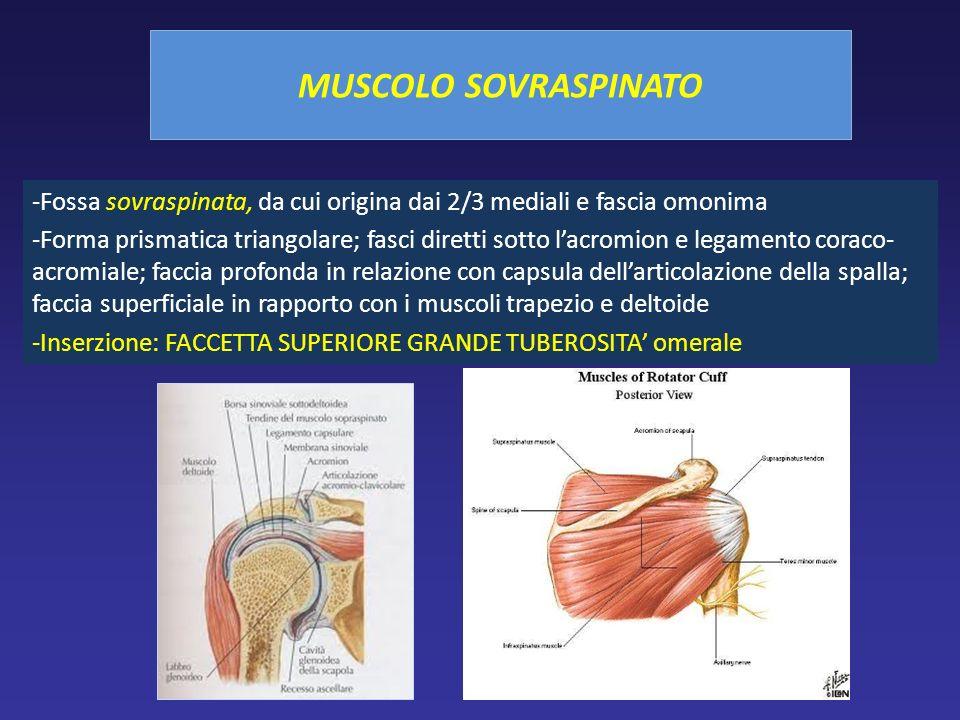 MUSCOLO SOVRASPINATO -Fossa sovraspinata, da cui origina dai 2/3 mediali e fascia omonima -Forma prismatica triangolare; fasci diretti sotto lacromion