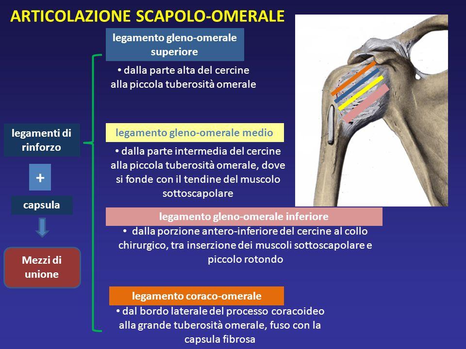 legamenti di rinforzo dalla parte alta del cercine alla piccola tuberosità omerale legamento gleno-omerale medio legamento gleno-omerale inferiore leg