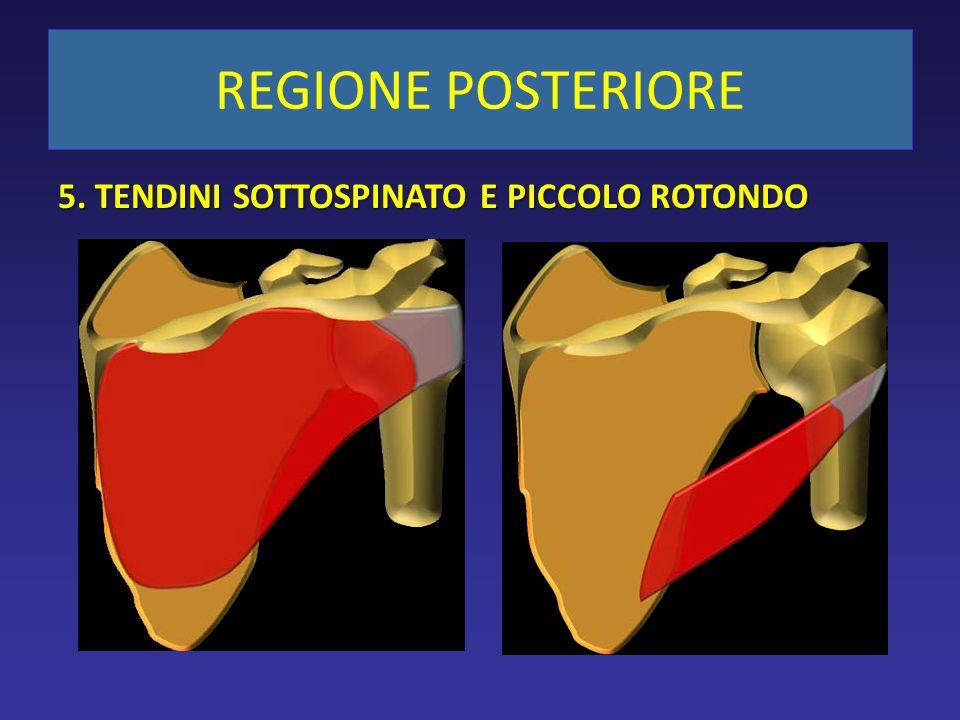 REGIONE POSTERIORE 5. TENDINI SOTTOSPINATO E PICCOLO ROTONDO