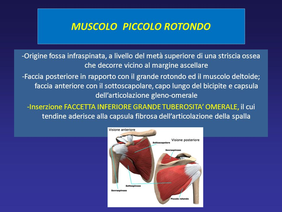-Origine fossa infraspinata, a livello del metà superiore di una striscia ossea che decorre vicino al margine ascellare -Faccia posteriore in rapporto con il grande rotondo ed il muscolo deltoide; faccia anteriore con il sottoscapolare, capo lungo del bicipite e capsula dellarticolazione gleno-omerale -Inserzione FACCETTA INFERIORE GRANDE TUBEROSITA OMERALE, il cui tendine aderisce alla capsula fibrosa dellarticolazione della spalla MUSCOLO PICCOLO ROTONDO
