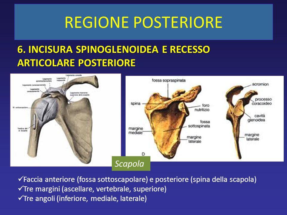 Scapola Faccia anteriore (fossa sottoscapolare) e posteriore (spina della scapola) Tre margini (ascellare, vertebrale, superiore) Tre angoli (inferiore, mediale, laterale) 6.