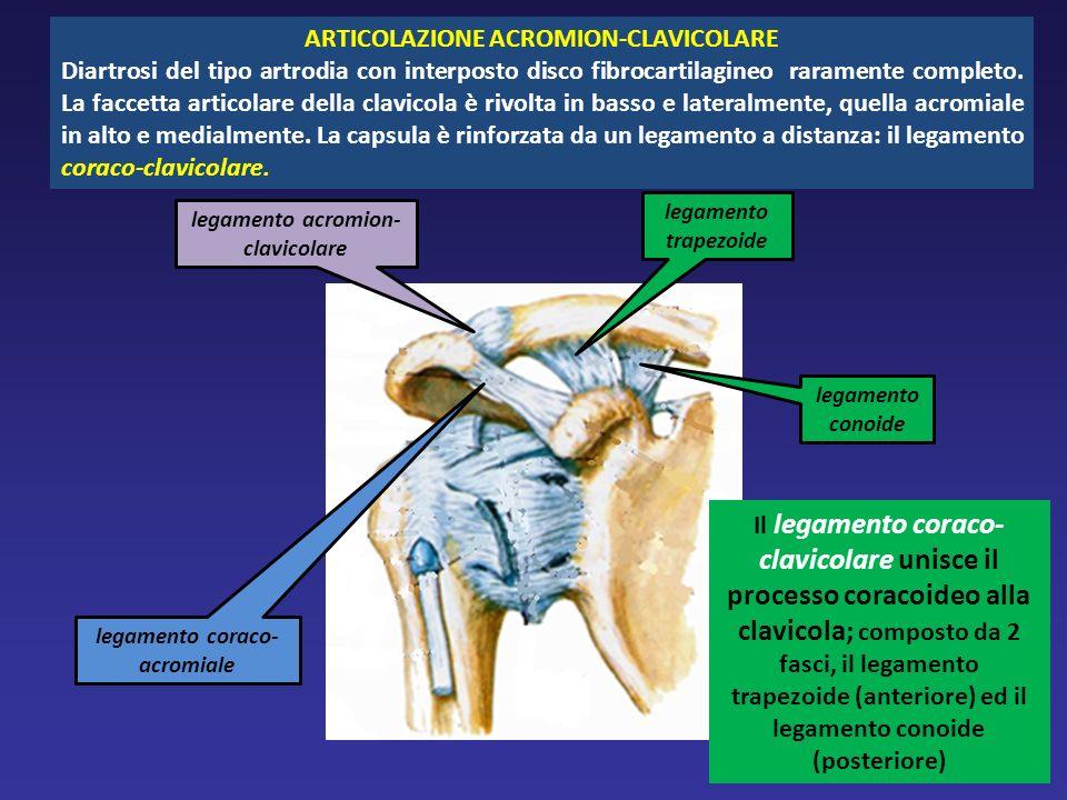 ARTICOLAZIONE ACROMION-CLAVICOLARE Diartrosi del tipo artrodia con interposto disco fibrocartilagineo raramente completo. La faccetta articolare della