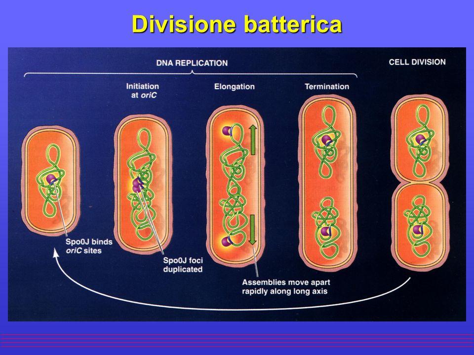 Replicazione del DNA