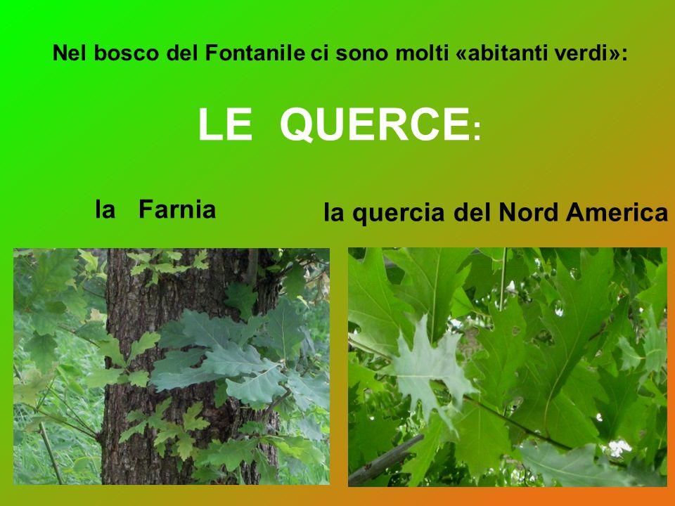 LE QUERCE : Nel bosco del Fontanile ci sono molti «abitanti verdi»: la Farnia la quercia del Nord America