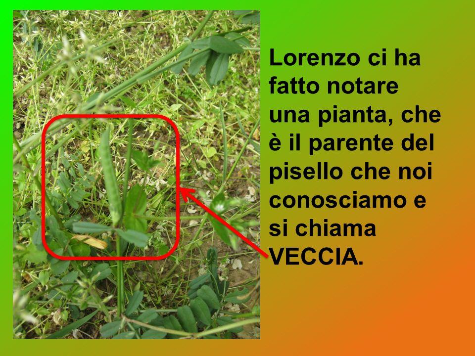 Lorenzo ci ha fatto notare una pianta, che è il parente del pisello che noi conosciamo e si chiama VECCIA.