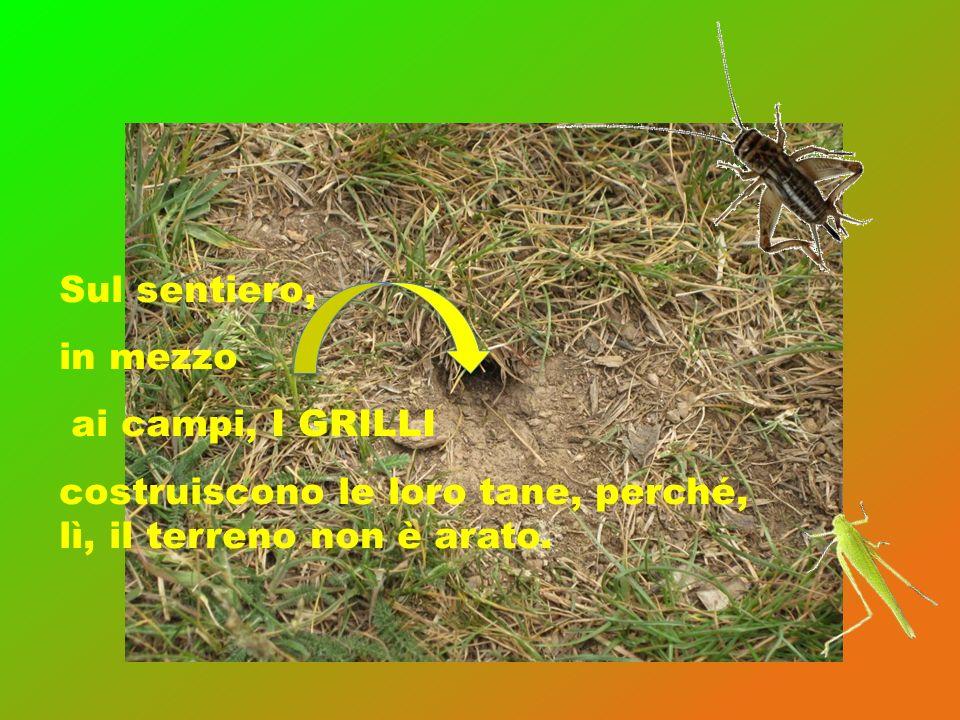 Sul sentiero, in mezzo ai campi, I GRILLI costruiscono le loro tane, perché, lì, il terreno non è arato.