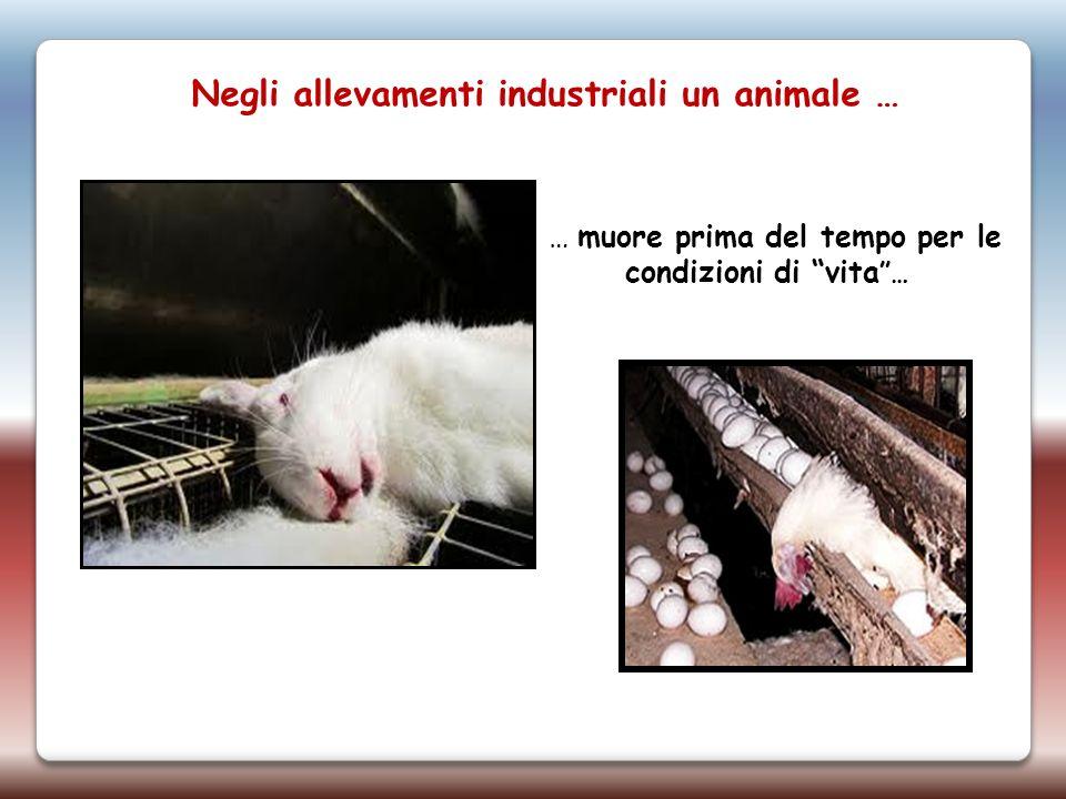 Negli allevamenti industriali un animale … … muore prima del tempo per le condizioni di vita …