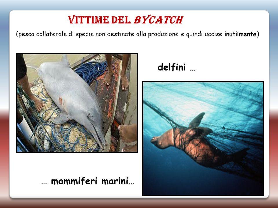 VITTIME DEL BYCATCH delfini … … mammiferi marini… ( pesca collaterale di specie non destinate alla produzione e quindi uccise inutilmente )