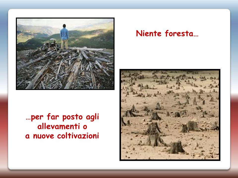 Niente foresta… …per far posto agli allevamenti o a nuove coltivazioni