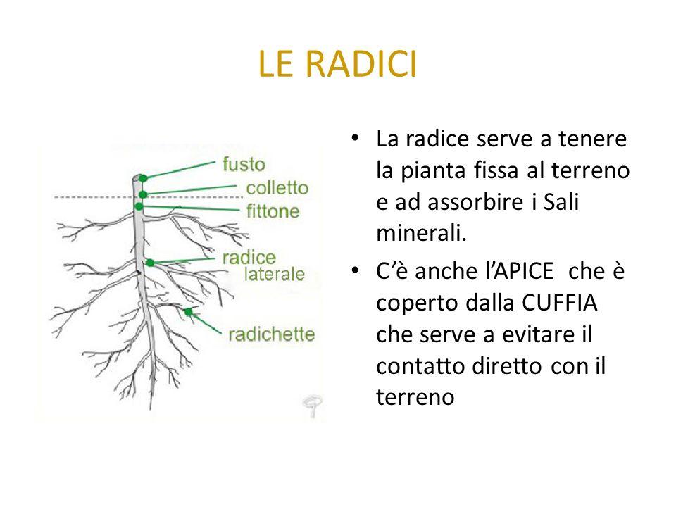 LE RADICI La radice serve a tenere la pianta fissa al terreno e ad assorbire i Sali minerali.