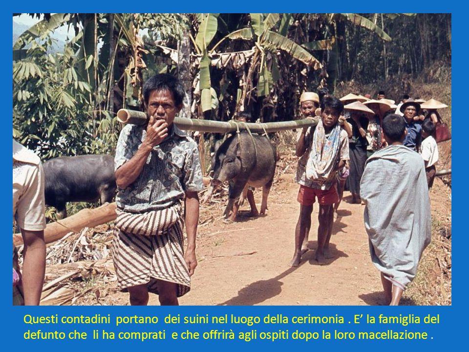 Questi contadini portano dei suini nel luogo della cerimonia. E la famiglia del defunto che li ha comprati e che offrirà agli ospiti dopo la loro mace