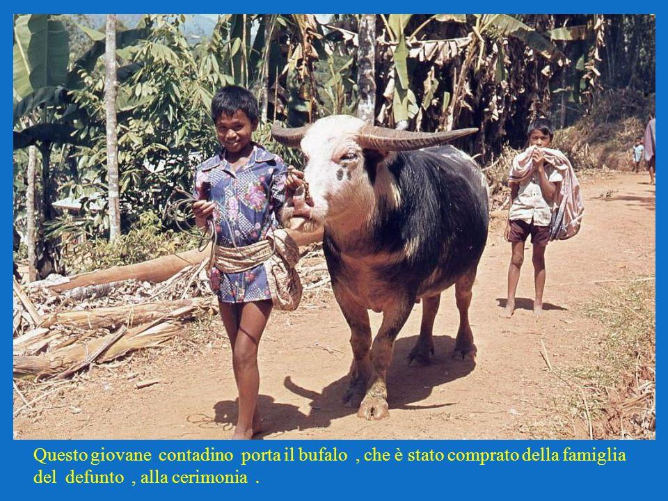 Questo giovane contadino porta il bufalo, che è stato comprato della famiglia del defunto, alla cerimonia.
