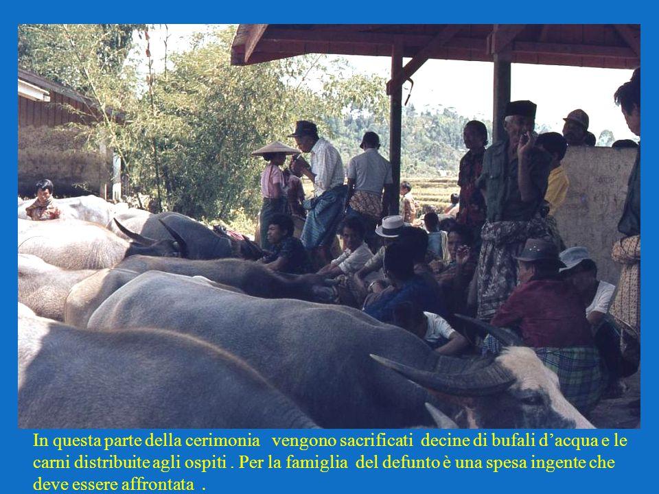 In questa parte della cerimonia vengono sacrificati decine di bufali dacqua e le carni distribuite agli ospiti. Per la famiglia del defunto è una spes
