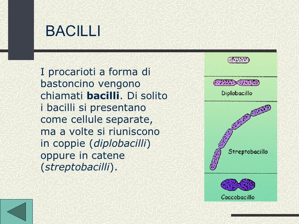 I procarioti a forma di bastoncino vengono chiamati bacilli. Di solito i bacilli si presentano come cellule separate, ma a volte si riuniscono in copp