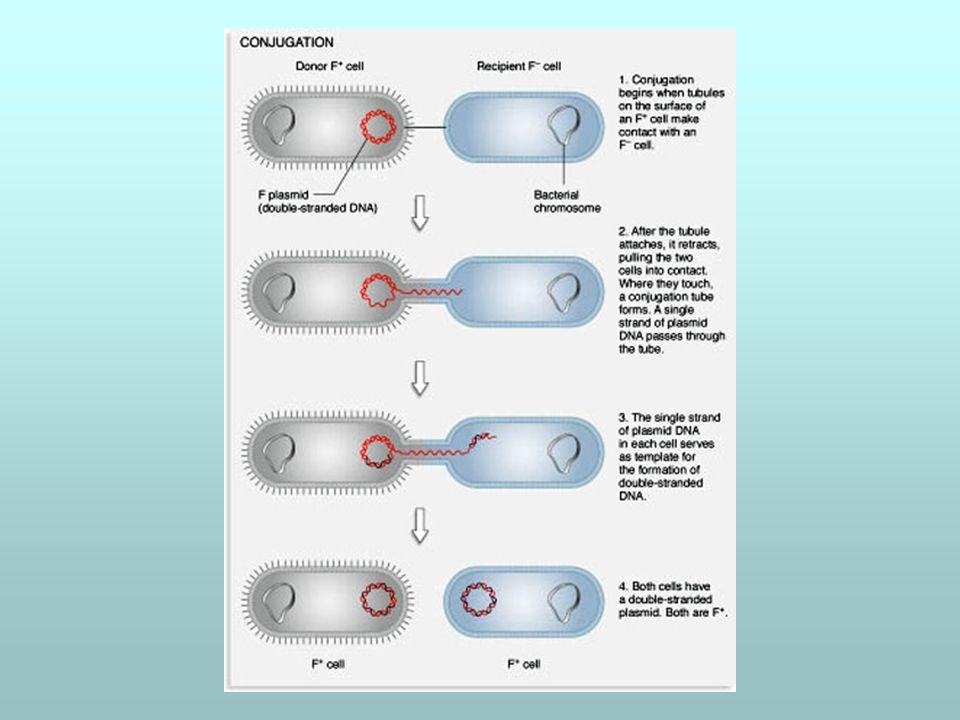 Ricombinazione a carico del fattore F F La ricombinazione avviene se, occasionalmente, il fattore F ha incorporato per crossing-over alcuni dei geni del cromosoma del ceppo donatore: ceppi lfr, low frequency of recombination pilus