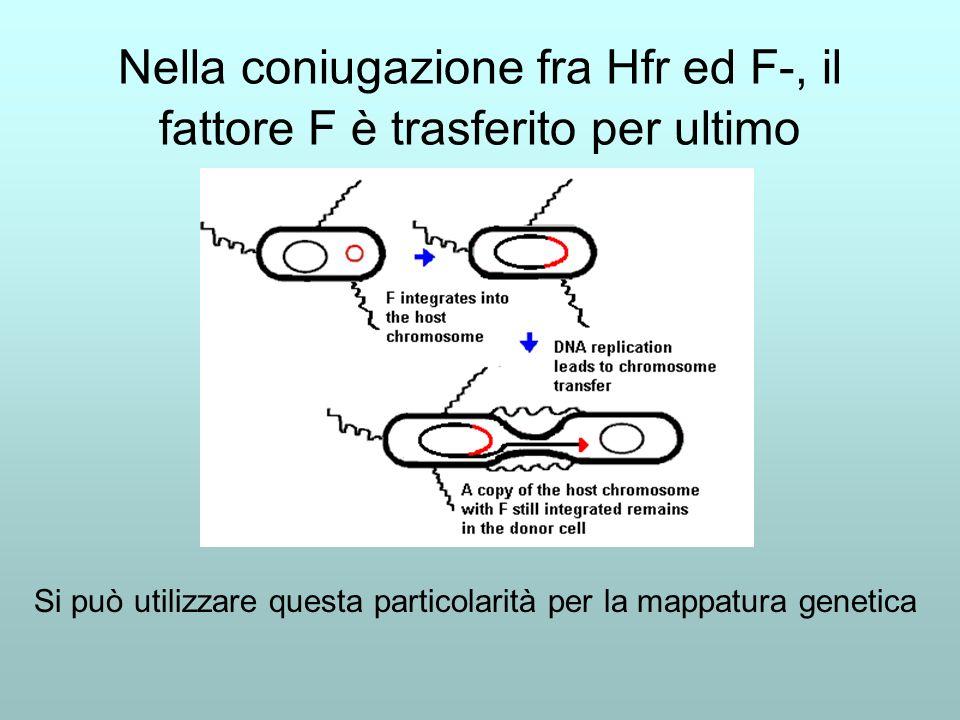 Ricapitolando: F- X F- Non cè coniugazione F+ x F+ Non cè coniugazione F+ x F- Coniugazione, F- F+, ricombinazione rara Hfr x F- Coniugazione, a volte F- Hfr, ricombinazione frequente