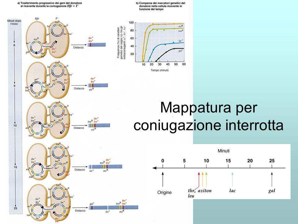 Ciclo dei batteriofagi o fagi I ceppi batterici sono soggetti a infezione da parte di specifici fagi: Per Escherichia coli: T2, T4, T6 e λ