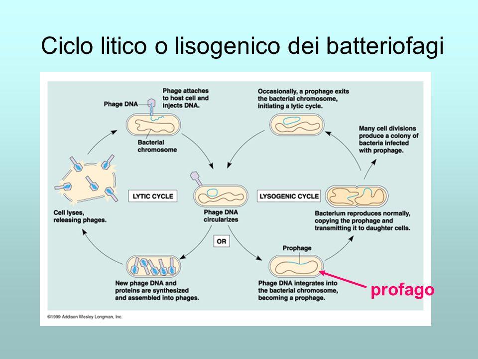 Ciclo litico o lisogenico dei batteriofagi