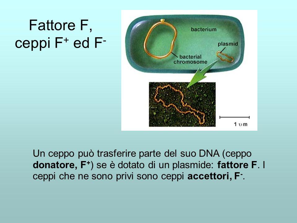 Il fattore F contiene i geni per la formazione di un pilus.
