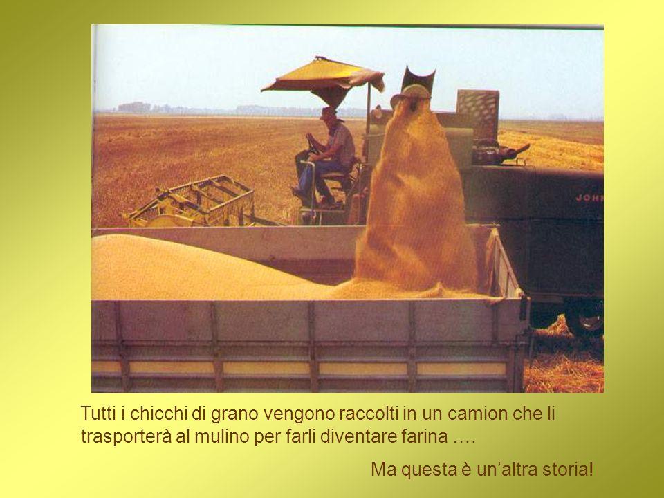 Tutti i chicchi di grano vengono raccolti in un camion che li trasporterà al mulino per farli diventare farina …. Ma questa è unaltra storia!