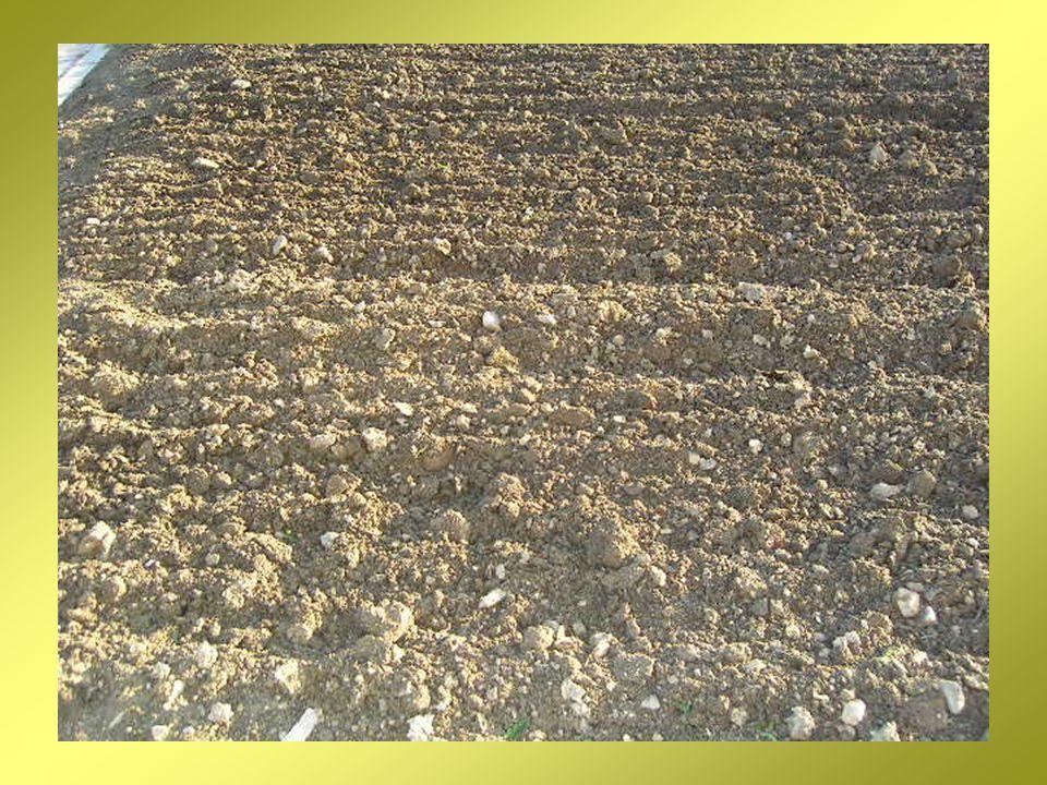 quando la terra é pronta, i chicchi di grano saranno fatti cadere nel terreno, dove staranno al caldo per un po di tempo.