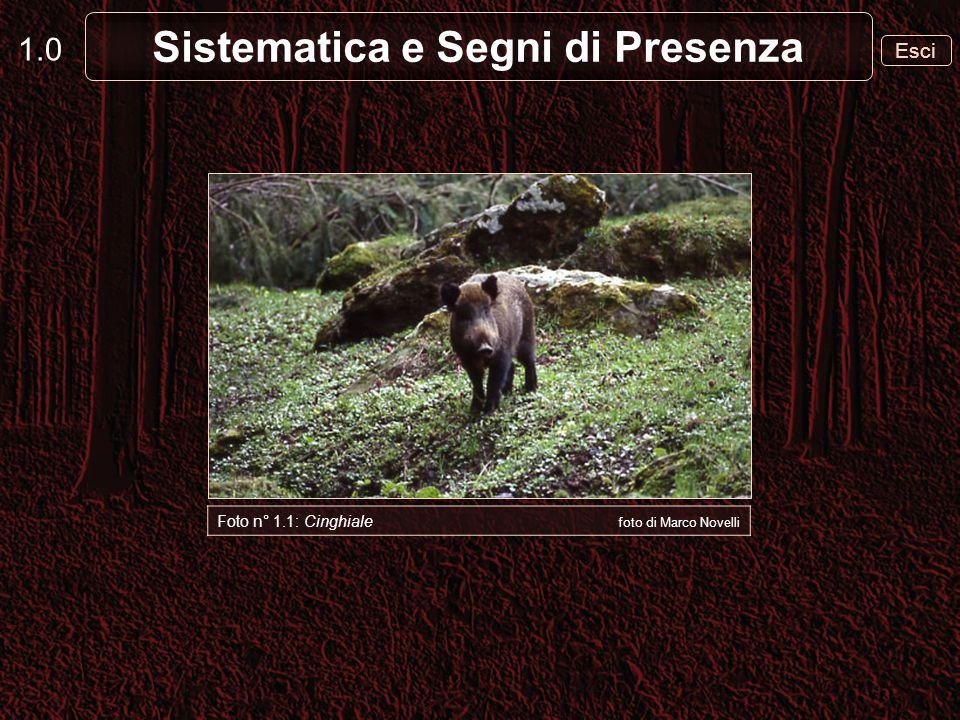 1.0 Esci Sistematica e Segni di Presenza Foto n° 1.1: Cinghiale foto di Marco Novelli