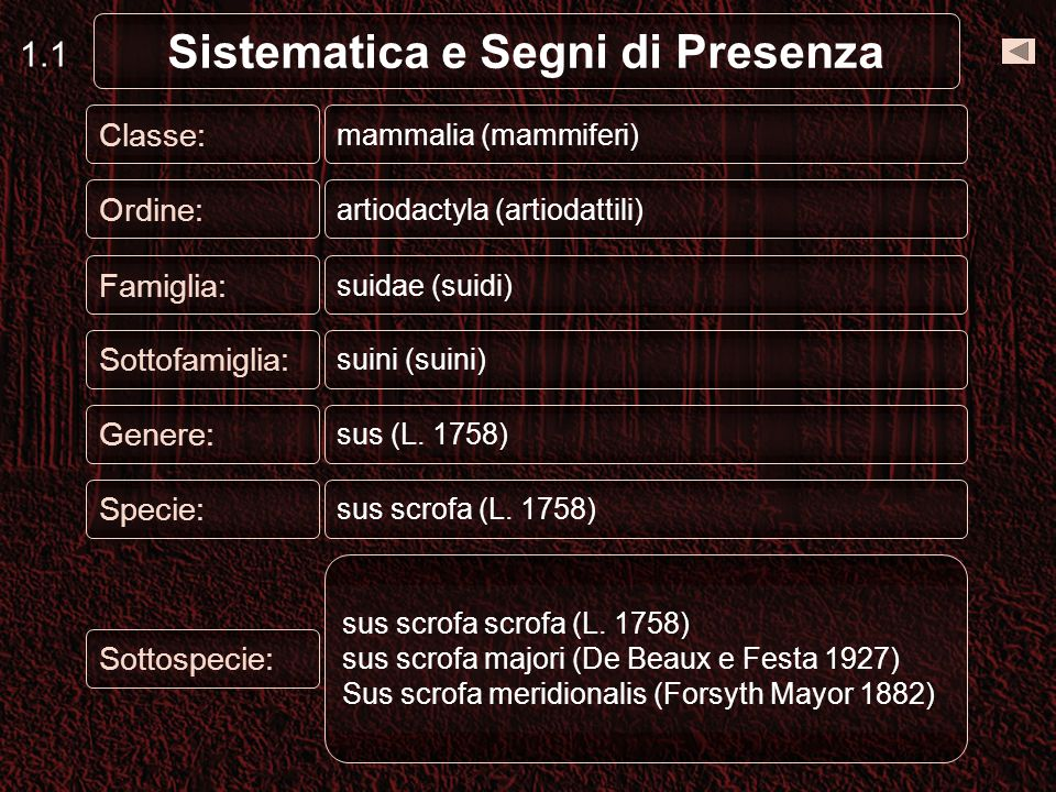 Classe: mammalia (mammiferi) Ordine: artiodactyla (artiodattili) Famiglia: suidae (suidi) Sottofamiglia: suini (suini) Genere: sus (L.
